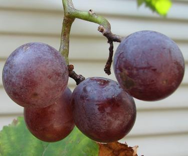IMG_grape04.JPG